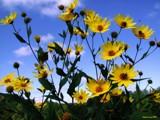 Shawnee Glory by jojomercury, Photography->Flowers gallery
