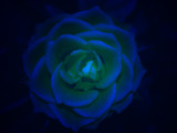 Blue rose by fra99y, Photography->Manipulation gallery