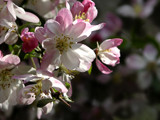 Spring Blossoms by theradman, Photography->Flowers gallery