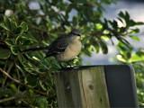 Songbird by Anita54, Photography->Birds gallery