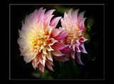 Two Of A Kind by tigger3, Photography->Flowers gallery