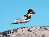 Gulldog by Junglegeorge, Photography->Manipulation gallery