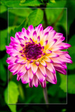 Dahlia Show 23 by corngrowth, photography->flowers gallery