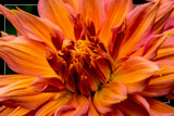 Dahlia Show 24 by corngrowth, photography->flowers gallery