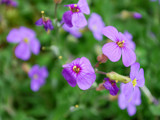 A New Look At Aubretia by braces, Photography->Flowers gallery
