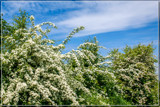 Hawthorn Abundance by corngrowth, photography->flowers gallery