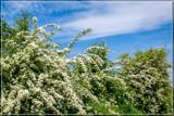 Hawthorn Abundance by corngrowth, photography->flowers gallery