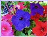 Patriotic Petunias by trixxie17, photography->flowers gallery