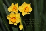 Little Daffs by LynEve, photography->flowers gallery