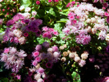 Cloud Nine Pink Ageratum by trixxie17, photography->flowers gallery