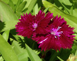 Deep Dianthus by trixxie17, photography->flowers gallery