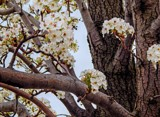 Old Bradford Pear Tree by trixxie17, photography->flowers gallery