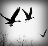 GEESE 3 by picardroe, photography->birds gallery