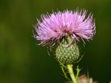 Yon thistle by onespock, Photography->Flowers gallery