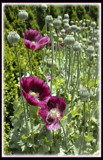 A Poppy Family by cynlee, photography->flowers gallery