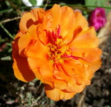 Orange Moss Rose in Detail by Pistos, photography->flowers gallery