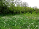 Dandelions by Tedi, photography->landscape gallery