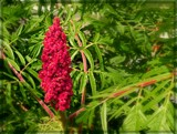 Staghorn Sumac by trixxie17, photography->flowers gallery