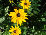 Black-Eyed Susans by camaddick, Photography->Flowers gallery