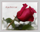 St. Valentine Rose by LynEve, photography->flowers gallery
