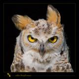 order Strigiformes by kodo34, Photography->Birds gallery