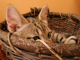 Cat in a basket by Dehli, Photography->Pets gallery