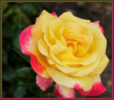 Sunday Rose by trixxie17, photography->flowers gallery