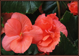 SalmonCoral Solenia Begonia by trixxie17, photography->flowers gallery