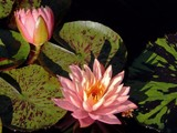 """""""Sunfire"""" Water Lily by trixxie17, photography->flowers gallery"""