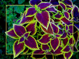 Coleus by MarianaEwa, Photography->Flowers gallery
