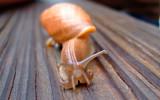 Euglandina Rosea by tweir, photography->animals gallery