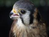 Kestrel by dreamer100, photography->birds gallery