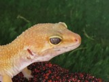 Bright eyes !!! by owldgirl, photography->reptiles/amphibians gallery