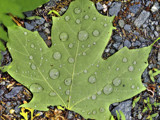 Green Leaf by cynlee, photography->nature gallery