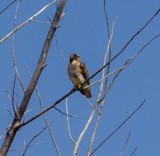 Cooper's Hawk by Pistos, photography->birds gallery