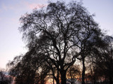 Tree in St. James Park by tadurham, Photography->Landscape gallery
