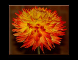 The Beauty of The Dahlia _ Number Eight by tigger3, Photography->Flowers gallery
