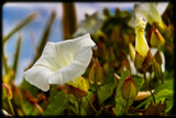 Convolvulus by LynEve, photography->flowers gallery