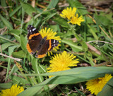 First Butterfly of the Season by Pistos, photography->butterflies gallery