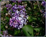Gas Station Lilacs by trixxie17, photography->flowers gallery