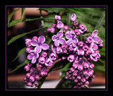 Two-Coloured Lilac ! by verenabloo, Photography->Flowers gallery