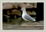 Seagull Portrait by gerryp, Photography->Birds gallery