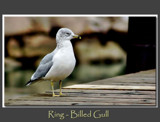 Seagull Portrait 2 by gerryp, Photography->Birds gallery