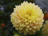 October Dahlia by cynlee, photography->flowers gallery