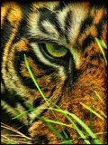 Eye of the Tiger by Dunstickin, photography->animals gallery
