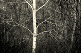 Lone Birch by Fifthbeatle, contests->b/w challenge gallery