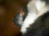 The Lemur by braces, Photography->Animals gallery