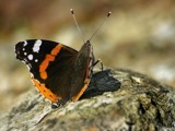 Red Admiral by pom1, Photography->Butterflies gallery