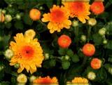 Gigi Gold Mum by trixxie17, photography->flowers gallery