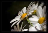 diagonal daisies by JQ, Photography->Flowers gallery